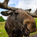 Moose Vs. Auto Incidents on Rise in Western Wyoming